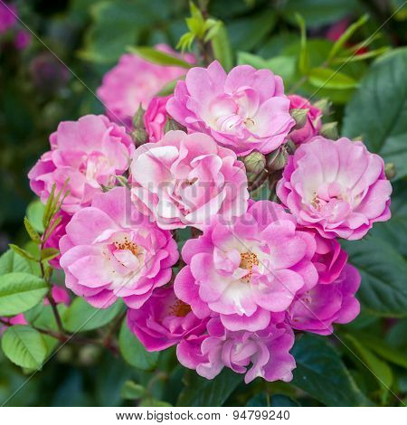 Pink Blooming Roses Bush Close Up