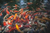 image of fish pond  - Carp fish eating food in a pond - JPG