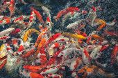 picture of fish pond  - Carp fish eating food in a pond - JPG