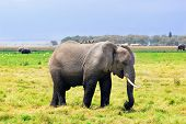 stock photo of eat grass  - African elephant eating grass in the swamp in Amboseli national park Kenya - JPG
