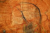 image of cutting trees  - Cross section of a cut down sawn tree trunk log showing its annual growth tree rings - JPG
