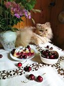 picture of cherries  - Persian adult cat lying on a kitchen table with cherries and cherry - JPG