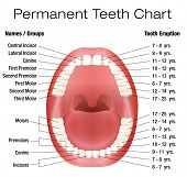 image of teeth  - Teeth names and permanent teeth eruption chart with accurate notation of the different teeth - JPG