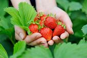picture of strawberry plant  - Fresh picked strawberries held over strawberry plants - JPG