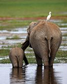 African Elephant Cow And Calf Walking Across The African Savanah
