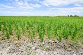 foto of rice  - Rice Sprout in Rice field - JPG