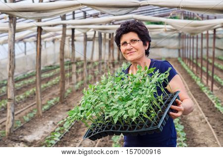 Young woman working in a greenhouse holding a crate with seedlings in a greenhouse