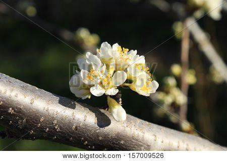 the awakening of nature, spring plum blossom in the garden