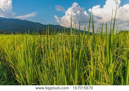 Beauty Sunny Day On The Rice Field .