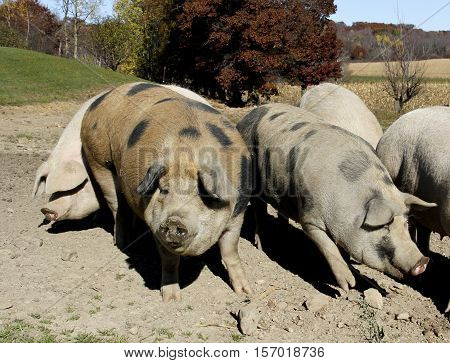 Several farm pigs rooting in a hog pen