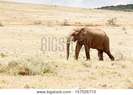 Just One Happy African Bush Elephant