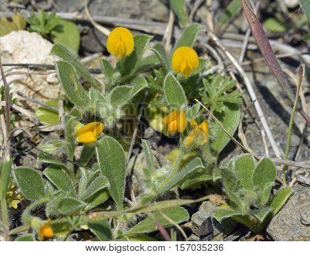 Disk Trefoil - Hymenocarpus circinatus Yellow Mediterranean Flower