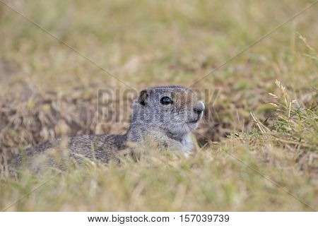 Unita ground squirrel peeking out of burrow with grass in the Tetons