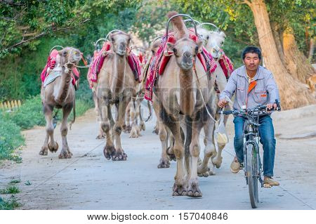 DUNHUANG CHINA - JUNE 28: Man riding a bicycle guiding group of camels on the leash in Gobi desert Gansu province. June 2016