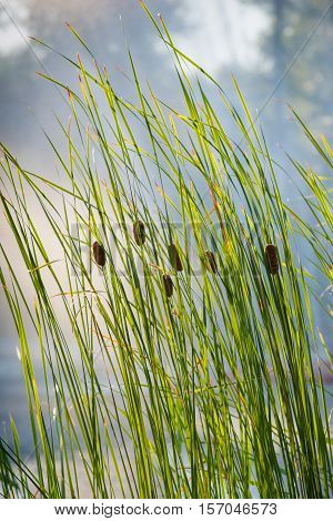 Reed Latin Scirpus - Genus of perennial and annual coastal aquatic plants Sedge family