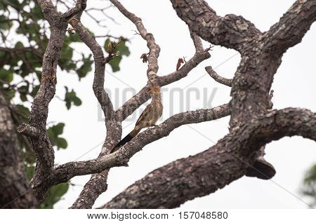 Anu-branco bird on a tree branch. Crested bird on head.