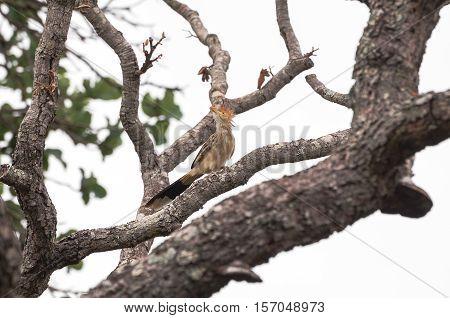 Anu-branco bird on a tree branch. Bird watching.