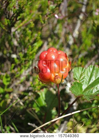 An unripe cloudberry, also known as bakeapple, knotberry, knoutberry, aqpik, low-bush salmonberry, averin or evron, Rubus chamaemorus on a mire. Photo taken on a sunny day in Dalarna, Sweden.