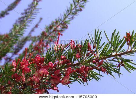 Grevillea Plant