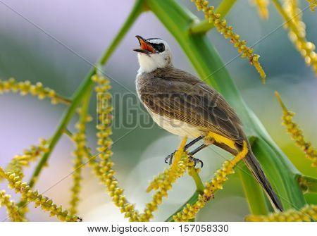Yellow-vented Bulbul (Pycnonotus goiavier) at berry tree. Phuket island Thailand