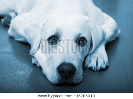 Beautiful portrait of a labrador retriever with a sad look