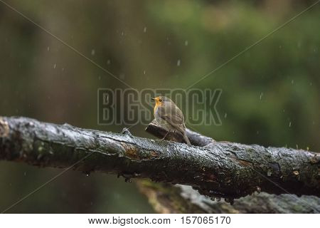 European Robin (erithacus Rubecula) Standing On A Wet Branch.