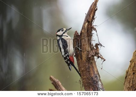 Great Spotted Woodpecker (dendrocopos Major) Perched On A Branch