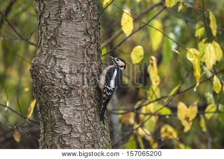 Great Spotted Woodpecker (dendrocopos Major) Perched On A Tree Trunk Against An Autumn-coloured Back