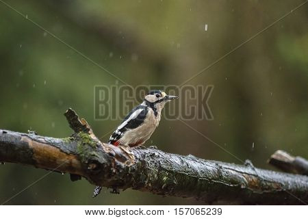 Great Spotted Woodpecker (dendrocopos Major) Perched On A Wet Branch In The Rain