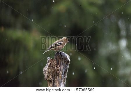 Female Common Chaffinch (fringilla Coelebs) Perched On Wet Branch In Forest In Rain.