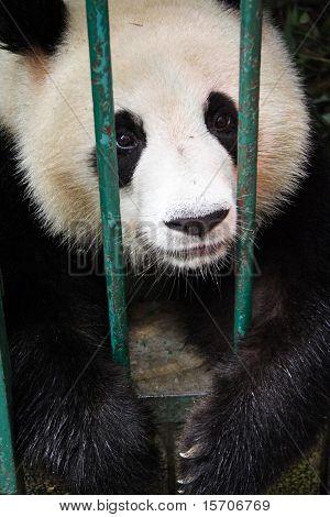 Panda I breeding center in Chongqing, Sichuan, China