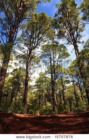 Forest:  La Esperanza, Tenerife, Canary Islands