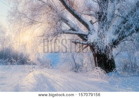 Winter landscape with old frosty winter tree in the sunlight. Winter wonderland scene in cold winter weather with winter snowfall - view of winter forest in the morning. Winter background