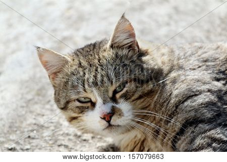 Big fluffy homeless cat with long whiskers and green-yellow eyes laying outdoor.