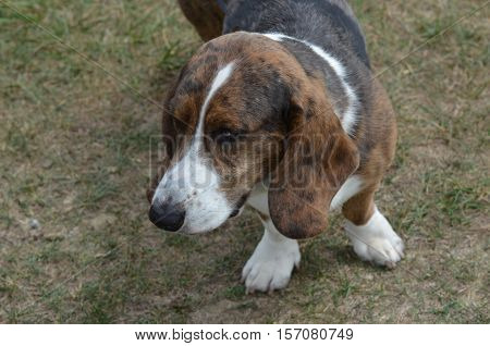 Great face of a loveable basset hound dog.