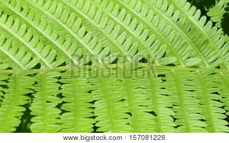Fresh green fern leaves in tight closeup