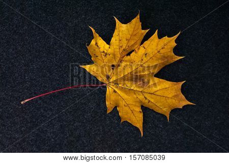 The autumn maple leaf of yellow color is represented on a dark fleecy background.