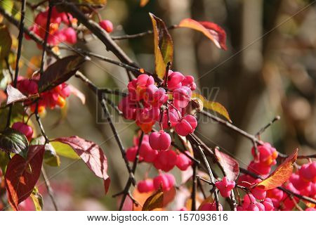Euonymus / Euonymus , often called spindle or spindle tree, is a genus of flowering plants in the staff vine family, Celastraceae.