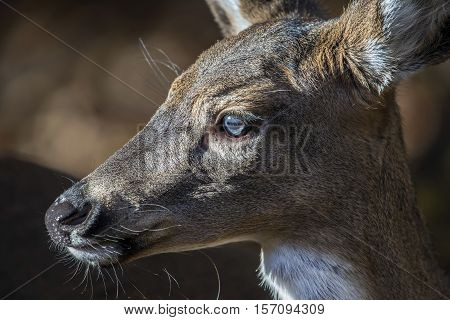 Intimate Close-up Portrait of the profile of the face of a wild White Tailed Deer