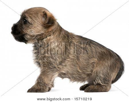 Cairn Terrier Puppy, 6 semanas de edad, frente a fondo blanco
