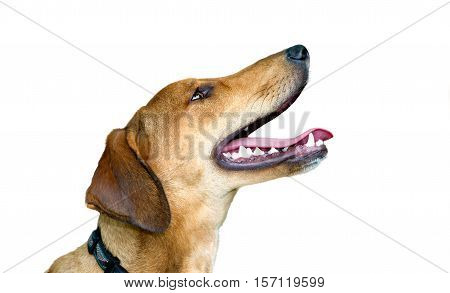Happy dog isolated on white background is an excited eager puppy dog with a big smile on his face.