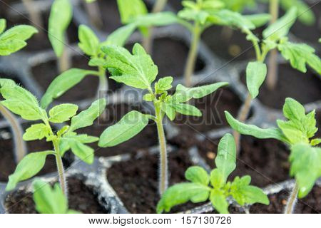 Young Green Tomato Seedling In Seedling Tray