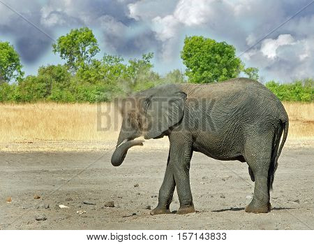 A large bull elephant standing on the african plains dusting himself with natural bush background and dust flying in Hwange National Park,  Zimbabwe, Southern Africa