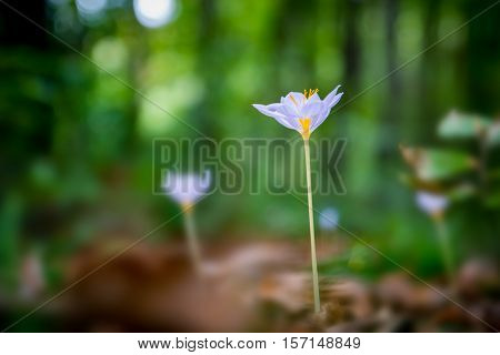 Close-up of violet Colchicum autumnale (autumn crocus, meadow saffron, naked lady) with green blurry forest background.