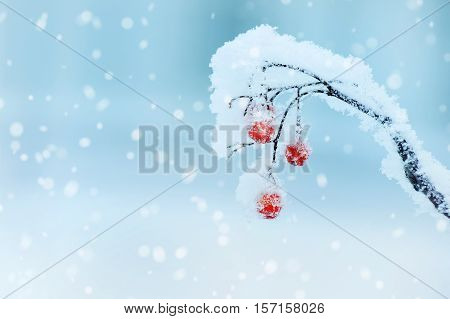 Winter background with frozen red berries of mountain ash