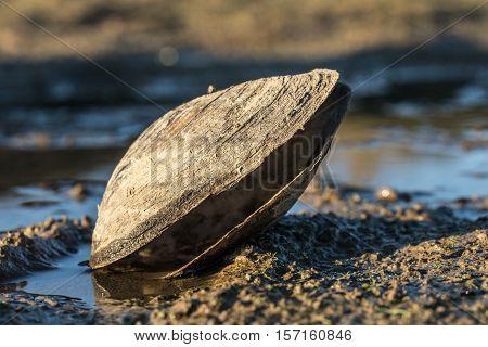 Large shellfish on the lake of Jaunay  (Vendee, France)