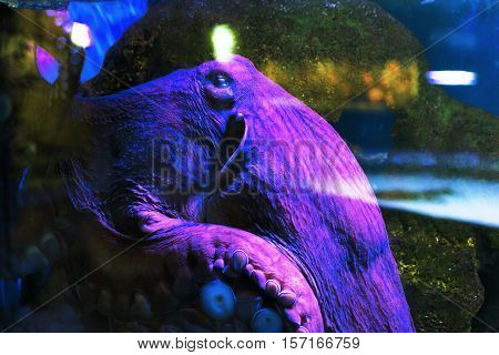 Common octopus, Octopus vulgaris or devilfish in the neon light