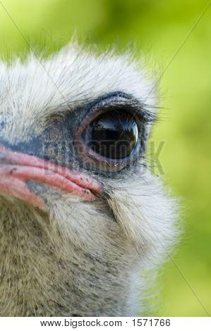 Ostrich Eye