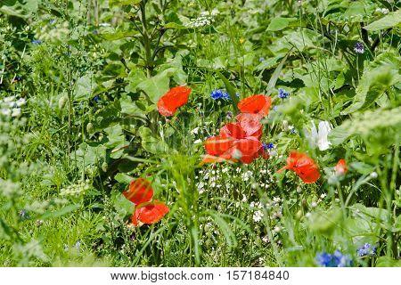 Flowering corn poppies (Papaver rhoeas) and cornflowers