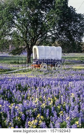Old covered wagon in field of blue connets in spring near autuin Texas